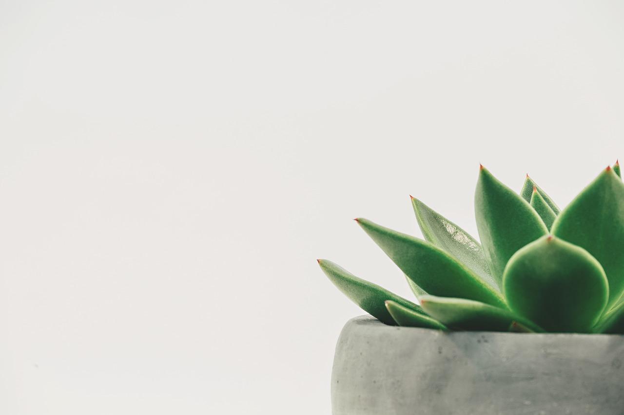 plante grasse Sansevieria